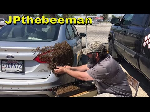 Super wholesome beekeeper removes a swarm of bees off a ladies car. It's great watching a video where you can tell that the person genuinely enjoys their work.