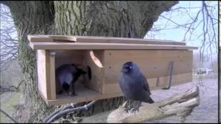 Little Owls And The Jackdaw 3-9-2015