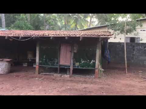 Download Srilanka Country Chicken Farm | Dangdut Mania