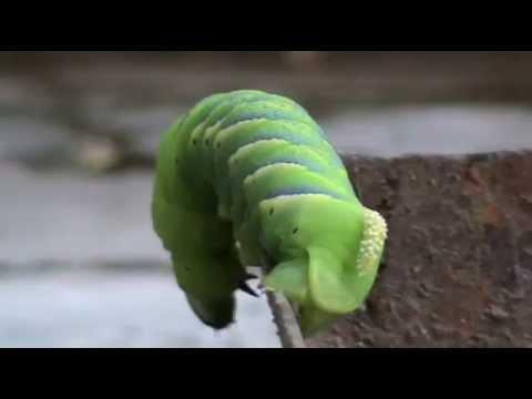 Cum să eliminați viermii trematodici