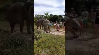 preview picture of video 'Mud Bath at Krabi Elephant Sanctuary'