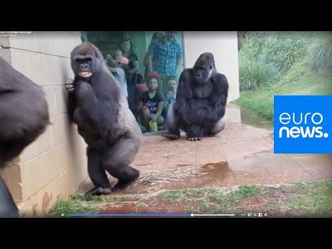 These Gorilla's Don't Like the Rain