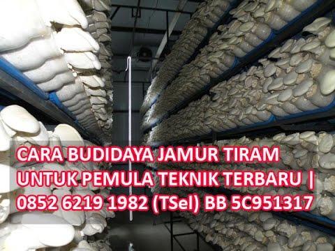Video Cara Budidaya Jamur Tiram Untuk Pemula Teknik Terbaru 0852 6219 1982 TSel BB 5C951317