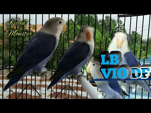 mp4 Lovebird Violet Df, download Lovebird Violet Df video klip Lovebird Violet Df