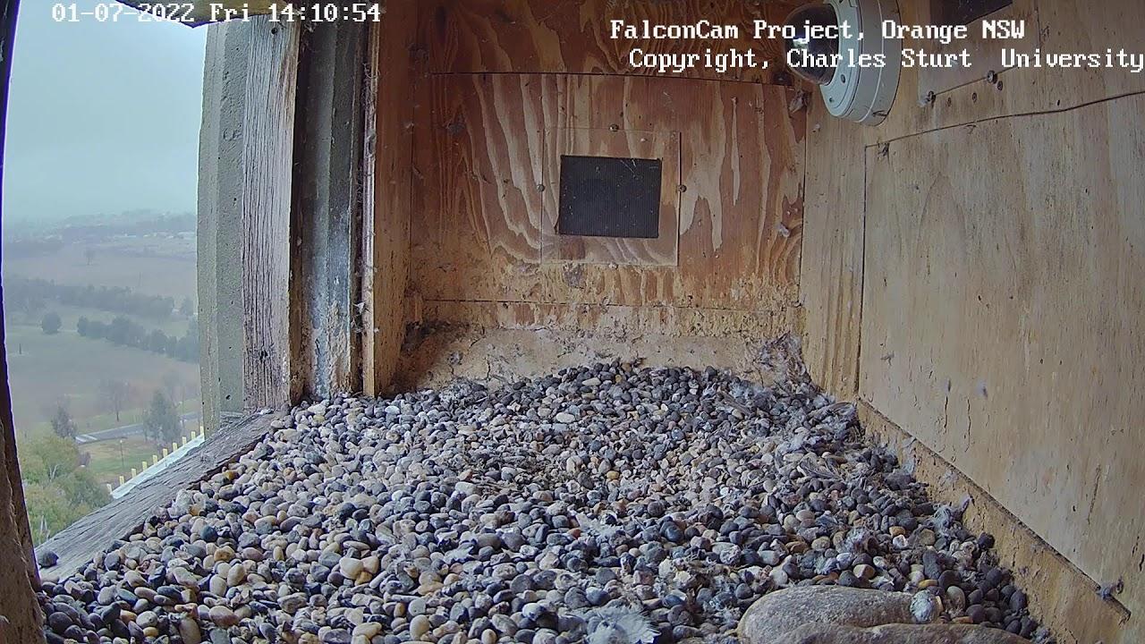 研究のために巣箱に設置されたカメラで至近距離から【ハヤブサ観察】Box Cam