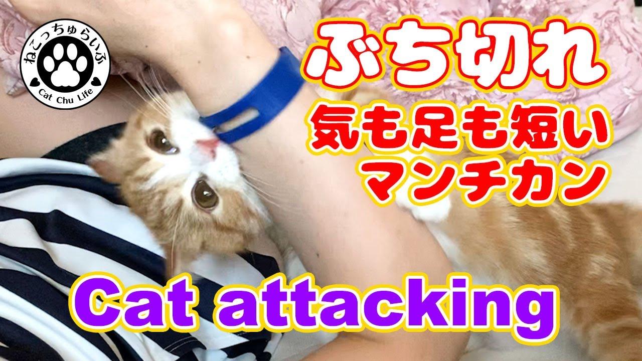 気も足も短いマンチカンの子猫【てと君】がぶち切れた!!Cat attacking【短足マンチカンの子猫|てとの日常|癒し動画】