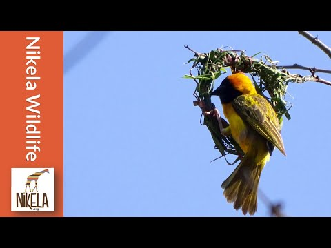 How do Weaver Bird's Build a Nest?