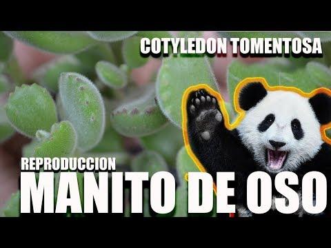MANITO DE OSO - COTYLEDON TOMENTOSA - REPRODUCCION