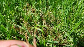 Red thread and leaf spot diseases may 31st