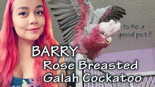 Rose Breasted Galah Cockatoo Care
