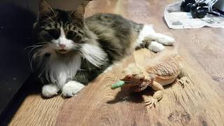 Дракон штурмует котика. Бородатая агама гоняется за гусеницами через полосатое препятствие.