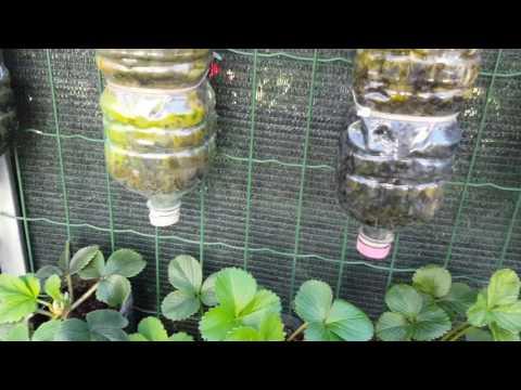 Coltivazione Fuori Suolo in Bottiglia Plastica Fragole