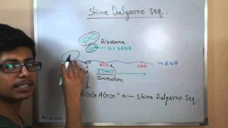 Shine Dalgarno sequence