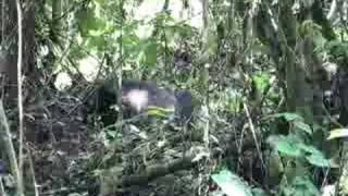 preview picture of video 'Gorillas in Bwindi Impenetrable Forest Uganda'