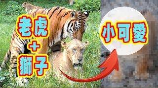 獅子和老虎交配出的稀有後代,全球廿隻!!! 你見過了嗎?