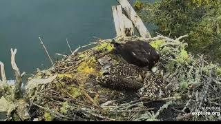 Rachel is Eating and Feeding around 10:25 am! Hog Island Osprey Nest 2019 07 11