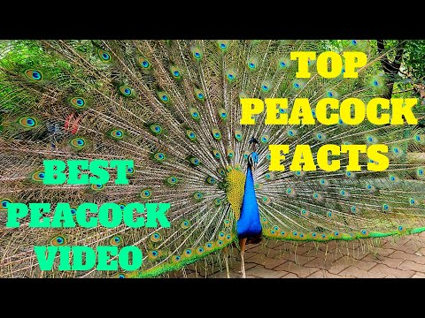 Best Peacock Video Ever | Indian Peacock Dance