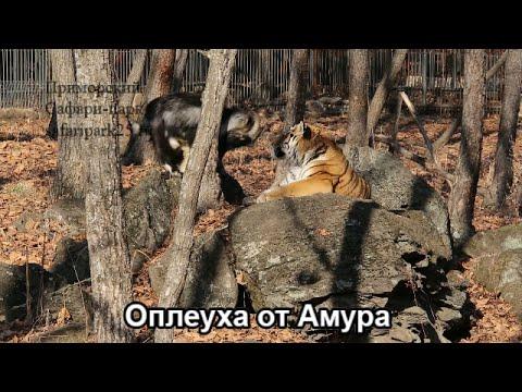 Оплеуха от Амура - Приморский Сафари Парк