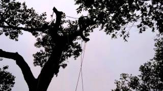 Cottonwood Removal 1