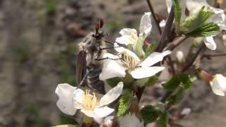 Цветущая китайская вишня (релакс)