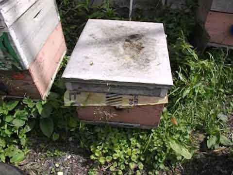 ошибки пчеловода -  объединение роя с семьей пчел или отводком