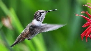 Колибри-пчёлка - Bee Hummingbird (Энциклопедия животных)