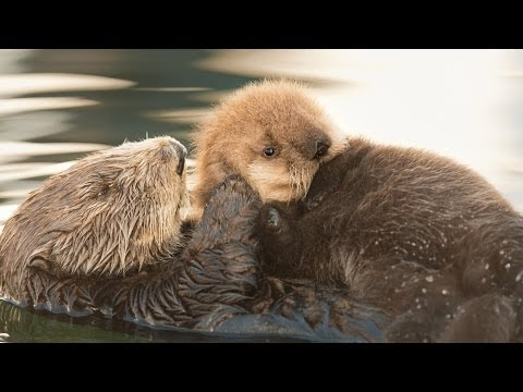 Orphaned Sea Otter Adopted by a New Mom