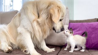 Golden Retriever and Kitten Play for the First Time!