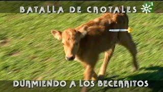 Crotales Con Anestesia A Los Becerritos De Domínguez Camacho | Toros Desde Andalucía