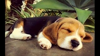 Funny And Cute Beagle Puppies Compilation #3 - Cutest Beagle Puppy