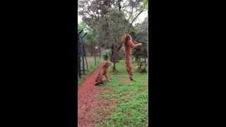 Смотреть онлайн Замедленная съемка прыжка тигра за куском мяса