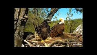 Chickadee wakes eaglet