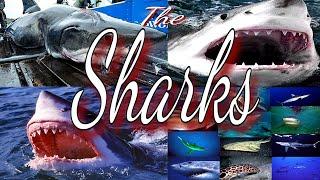 Baby Shark | Sharks | Shark Attack | Shaks Video | Best Video on Sharks | Best Video About Sharks