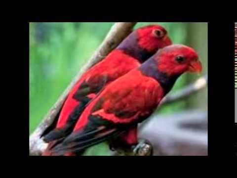 Video Cara Membedakan Burung Nuri Jantan Dan Betina