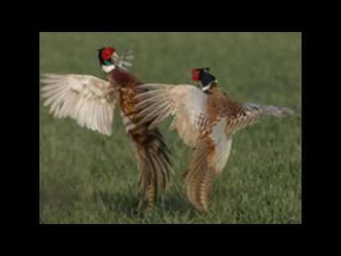 Video Jual Indukan Doc Anakan Ayam Rigneck Pheasant (RNP) / Ayam Tibet Berkualitas 0822-3478-9074