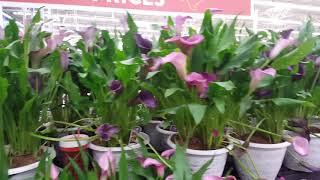 Growing Calla Lilies | Donna Joshi