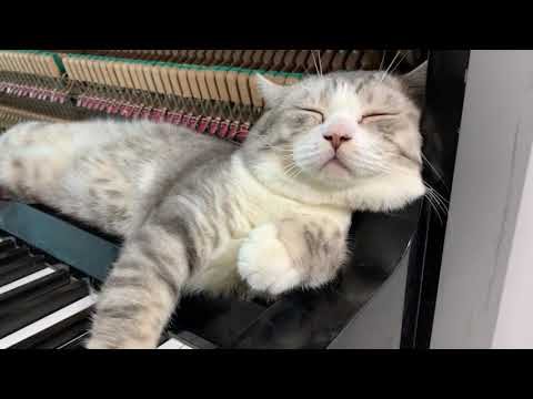 Cat lays on piano while man plays Numb by Linkin Park