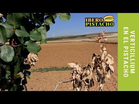 Fotograma del vídeo: Verticillium en el Pistacho