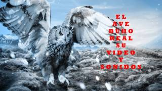 - El ave  búho real videos y sonidos animados - The owl bird videos and animated sounds -