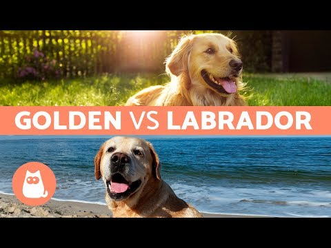Golden Vs. Labrador – Differences Between Labrador Retriever and Golden Retriever