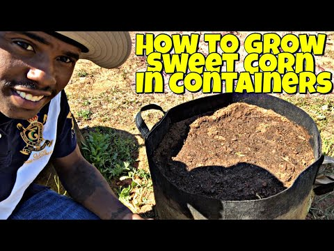 HOW TO GROW YOUR OWN CORN IN CONTAINERS