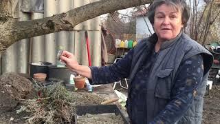 Levendula tavaszi metszése és szaporítása