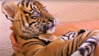 Best Tiger Cub Moments Part 2 | BBC Earth