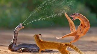 Какую змею не может поймать мангуст