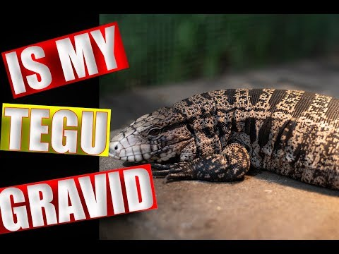 RCR: The Best Substrate for a Tegu | The Reptile Report