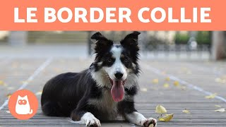 BORDER COLLIE : 10 Choses à Savoir