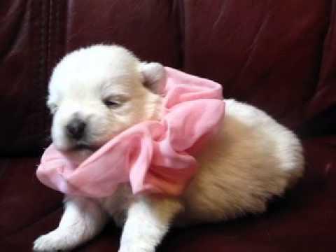 AKC registered West Highland Terrier Pink Satin Girl