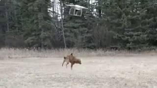 Ленивый хозяин отправил гулять с собакой дрона