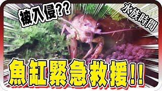 魚死一半?魚缸竟然出現超大螯蝦?!|水族時間【黑羽】