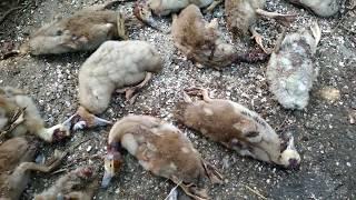 Как охотится хорек на кур